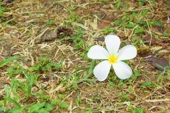 Λευκό λουλουδιών Plumeria - κίτρινο στα ξηρά χλόης pocynaceae ονόματος υποβάθρου κοινά, Frangipani, δέντρο παγοδών, δέντρο ναών Στοκ φωτογραφία με δικαίωμα ελεύθερης χρήσης