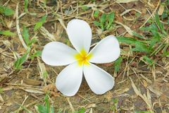 Λευκό λουλουδιών Plumeria - κίτρινο στα ξηρά χλόης pocynaceae ονόματος υποβάθρου κοινά, Frangipani, δέντρο παγοδών, δέντρο ναών Στοκ Εικόνα