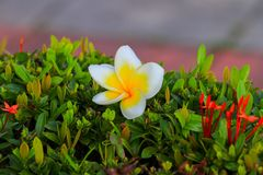 Λευκό λουλουδιών Plumeria και κίτρινος όμορφος γύρης (κοινό όνομα Στοκ Φωτογραφίες