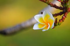 Λευκό λουλουδιών Plumeria και κίτρινος όμορφος γύρης στο δέντρο (Comm Στοκ φωτογραφία με δικαίωμα ελεύθερης χρήσης