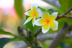 Λευκό λουλουδιών Plumeria και κίτρινος όμορφος γύρης στο δέντρο (Comm Στοκ Εικόνα