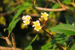 Λευκό λουλουδιών Plumeria και κίτρινος όμορφος γύρης στο δέντρο (Comm Στοκ Εικόνες