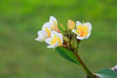 Λευκό λουλουδιών Plumeria και κίτρινος όμορφος γύρης στο δέντρο (Comm Στοκ εικόνες με δικαίωμα ελεύθερης χρήσης