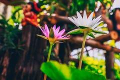 λευκό λωτού λουλουδ&iota Στοκ Φωτογραφία