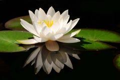 λευκό λωτού λουλουδ&iota Στοκ φωτογραφία με δικαίωμα ελεύθερης χρήσης