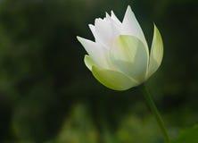 λευκό λωτού Στοκ Εικόνα