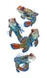 λευκό μανταρινιών ανασκόπησης dragonet απομονωμένο Στοκ Εικόνα