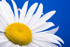 λευκό μαργαριτών Στοκ Εικόνες
