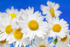 λευκό μαργαριτών Στοκ Φωτογραφίες