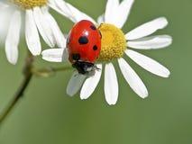 λευκό μαργαριτών ladybug Στοκ Εικόνες