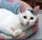 Λευκό με μια γκρίζα γάτα σημείων Στοκ φωτογραφία με δικαίωμα ελεύθερης χρήσης