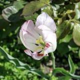 Λευκό με την κόκκινη τουλίπα φλεβών που ανθίζει σε έναν κήπο την άνοιξη στοκ εικόνες με δικαίωμα ελεύθερης χρήσης