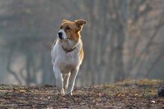 Λευκό με το σκυλί καφετιών σημείων Στοκ φωτογραφίες με δικαίωμα ελεύθερης χρήσης