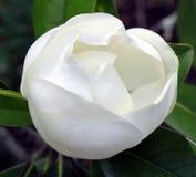 λευκό οφθαλμών Στοκ Εικόνα