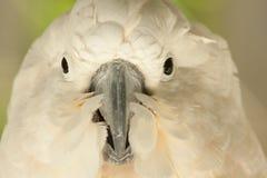 λευκό παπαγάλων Στοκ Φωτογραφίες