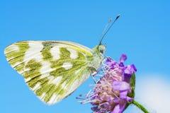 λευκό πεταλούδων λουτ&r Στοκ εικόνες με δικαίωμα ελεύθερης χρήσης