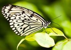 λευκό πεταλούδων στοκ φωτογραφία