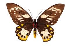 λευκό πεταλούδων Στοκ εικόνες με δικαίωμα ελεύθερης χρήσης