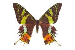λευκό πεταλούδων Στοκ Φωτογραφίες