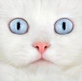 λευκό πορτρέτου γατακιών στοκ φωτογραφία