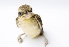 λευκό πουλιών ανασκόπησ&eta στοκ φωτογραφίες
