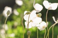 Λευκό που ανθίζει anemones στο ria ¡ Anémone κήπων coronà Στοκ Εικόνες