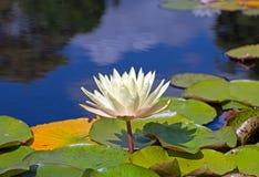 Λευκό που αυξάνεται waterlily μεταξύ ενός κρεβατιού των δονούμενων πράσινων μαξιλαριών κρίνων σε μια λίμνη Στοκ Εικόνες