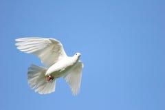 λευκό πτήσης περιστεριών στοκ εικόνες