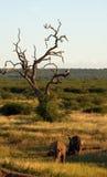 λευκό ρινοκέρων στοκ φωτογραφίες με δικαίωμα ελεύθερης χρήσης