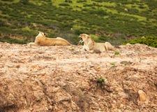 λευκό σαβανών λιονταριών Στοκ εικόνες με δικαίωμα ελεύθερης χρήσης