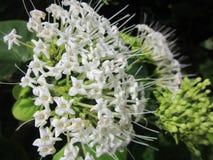 Λευκό σαν το χιόνι άγριο λουλούδι Assam στοκ φωτογραφία