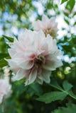 Λευκό σαν το χιόνι λουλούδι Στοκ Φωτογραφία