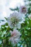 Λευκό σαν το χιόνι λουλούδι Στοκ Φωτογραφίες