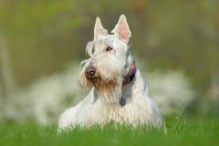 Λευκό, σιταρένιο σκωτσέζικο τεριέ, χαριτωμένο σκυλί πράσινος χορτοτάπητας χλόης, άσπρο λουλούδι στο υπόβαθρο, Σκωτία, Ηνωμένο Βασ Στοκ Φωτογραφίες