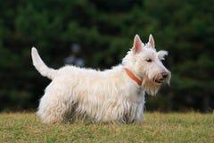 Λευκό (σιταρένιο) σκωτσέζικο τεριέ, χαριτωμένο σκυλί στον πράσινο χορτοτάπητα χλόης Στοκ Φωτογραφίες