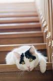 λευκό σκαλοπατιών γατών Στοκ Φωτογραφίες