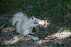 λευκό σκιούρων στοκ φωτογραφία