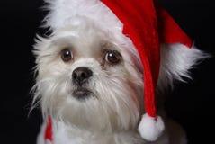 λευκό σκυλιών Χριστουγέννων Στοκ φωτογραφία με δικαίωμα ελεύθερης χρήσης