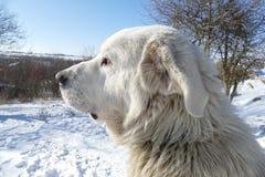 Λευκό σκυλιών Στοκ εικόνες με δικαίωμα ελεύθερης χρήσης
