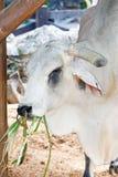 λευκό ταύρων Στοκ Εικόνα