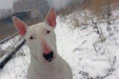 Λευκό τεριέ ταύρων σε έναν περίπατο στη φύση Στοκ φωτογραφίες με δικαίωμα ελεύθερης χρήσης