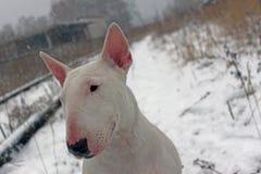 Λευκό τεριέ ταύρων σε έναν περίπατο στη φύση Στοκ εικόνα με δικαίωμα ελεύθερης χρήσης