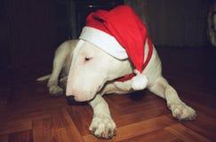 Λευκό τεριέ ταύρων σε ένα καπέλο Χριστουγέννων Στοκ Φωτογραφία