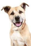 λευκό τεριέ Staffordshire σκυλιών αν Στοκ εικόνες με δικαίωμα ελεύθερης χρήσης