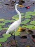 λευκό της Κούβας γερανών Στοκ φωτογραφίες με δικαίωμα ελεύθερης χρήσης