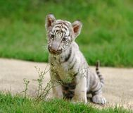 λευκό τιγρών μωρών Στοκ Φωτογραφία
