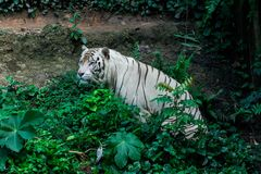λευκό τιγρών της Βεγγάλης Στοκ Εικόνα