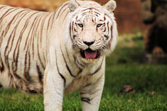 λευκό τιγρών της Βεγγάλη&sig Στοκ φωτογραφία με δικαίωμα ελεύθερης χρήσης