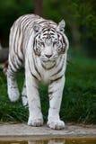 λευκό τιγρών της Βεγγάλη&sig Στοκ εικόνες με δικαίωμα ελεύθερης χρήσης