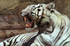 λευκό τιγρών στοκ εικόνες